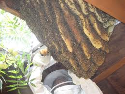 Bee swarm with comb
