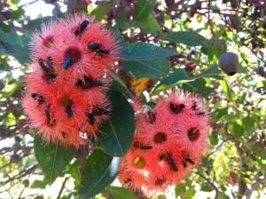 Beetles in red flowering gum